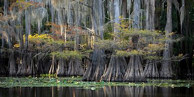 Cypress trees in the Louisianav bayou